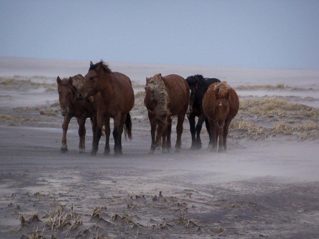 Остров Сейбл CY0P дикие лошади