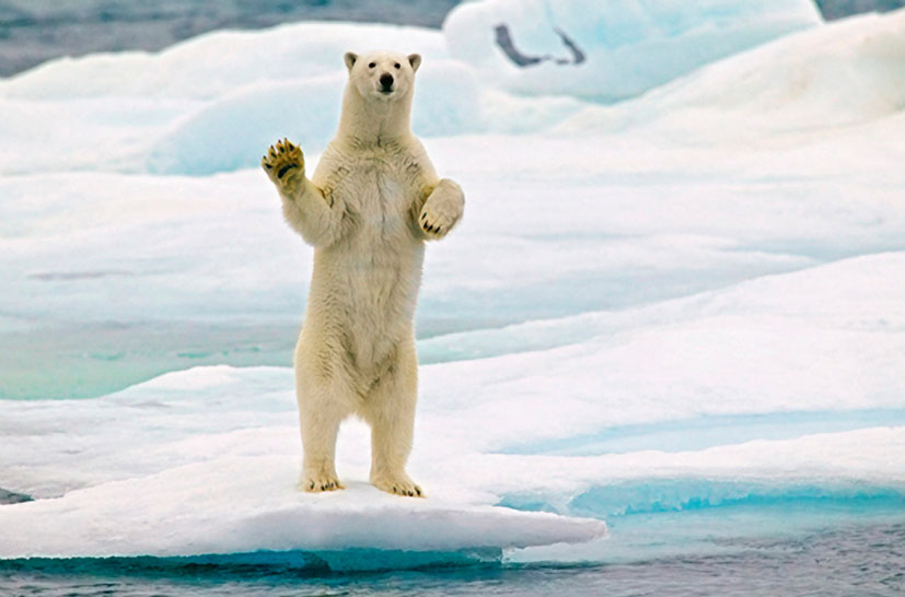 Svalbard Islands JW8HGA Polar Bear